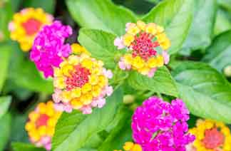 Lantana: invading species another reason to causes of Loss of Biodiversity