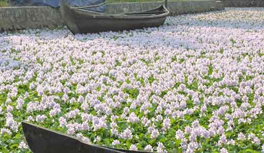 Water-hyacinth-invading-species-another-reason-to-causes-of-Loss-of-Biodiversity